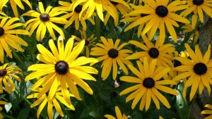 Image of rudbeckia flowers to illustrate the crafty gardeners blog garden garden workshops floral workshops and garden tours