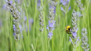 Image of a bee in a field of lavender. Garden Workshops and Floral workshops in somerset wiltshire bath and bristol