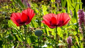 Image of red poppies to illustrate garden tours floral workshops and garden workshops in bath bristol somerset and wiltshire uk