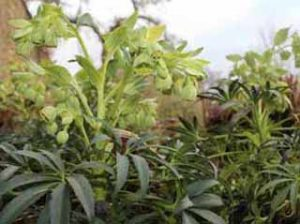 Image of hellebore foetidus to illustrate a blog about independant garden centres in Frome