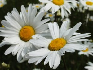 Image of giant daisies to illustrate failsafe plants garden workshop