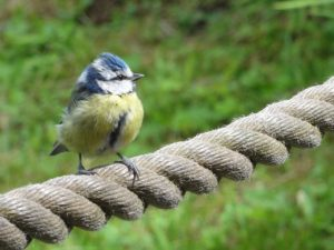 Image of a blue tit to illustrate wildlife friendly garden workshop